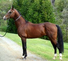 Akhal teke stallion, Gallo. photo: Susan Arnot.