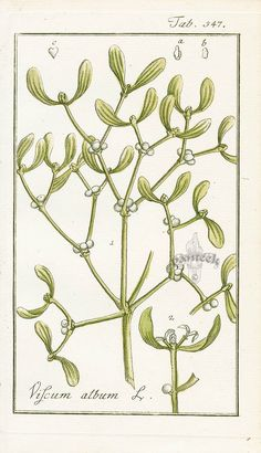 Viscum album, Mistletoe from Medicinal Engravings by Zorn Botanical Drawings, Botanical Illustration, Botanical Prints, Woodland Christmas, Christmas Decor, Xmas, Historia Natural, Nature Plants, Floral Illustrations