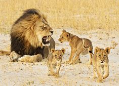 cats-and-stuff:  Cecil and his cubs by Ed Heherington