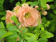 love the peach color of this Flowering Quince - an early spring flowering shrub hardy in zones 4a to 8b.