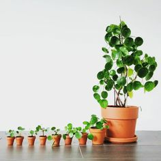Mama Pilea had lots of babies!