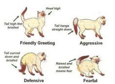 Learning how to read feline body language is one of the best ways to understand your cat. Even though cats express themselves vocally, they primarily use their face, tail and body to communicate with each other and with the humans in their lives.