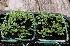 Riihivilla, Dyeing with natural dyes: Growing dye plants this year Värikasvejani tänä vuonna