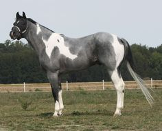 Forest Comet Midnight - A 2006 bred reg.APHA blue roan tobiano stallion.  Wow, what a horse!