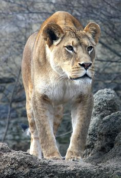 Philadelphia Zoo, Lions Photos, Watch Wallpaper, Mountain Lion, Anime Poses, Leopards, Animal House, Big Cats, Pet Birds