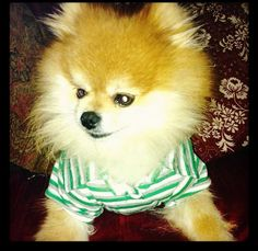 """A Pommy Mommy Rescue Story. """"Kojo the Pomeranian"""" 