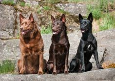 Solid colours of Australian kelpie, Red, Chocolate and Black.