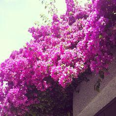 Buganvilla flowers. www.espaciosvivos.es