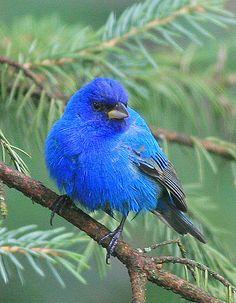 Indigo Bunting (male) | Flickr - Photo Sharing!