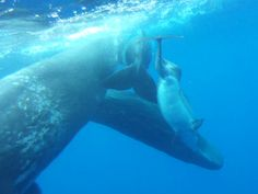 Wild! Sperm whales adopt dolphin with deformed spine
