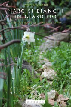 Sbocciano narcisi bianchi in giardino: il tributo di un giardiniere alla memoria del 6 aprile 2009 a L'Aquila. Scopri di più sul blog #giardinoindiretta #6aprile2009 #fiori #memoria #laquila