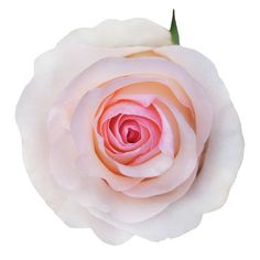 TheSenorita rose is a creamy and pink rose with greenish exterior petals and warm soft pink interior. Lowest wholesale prices. Farm direct.