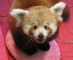 cute baby red pandas