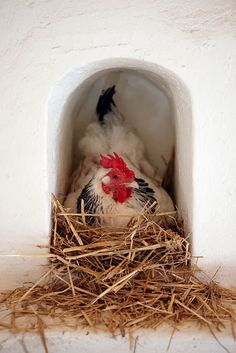 Hen in her chicken coop. Our chickens supply our restaurants with fresh eggs. Hen Chicken, Chicken Eggs, Chicken Coops, Chicken Art, Chicken Breeds, Chicken Adobe, Country Chicken, Chicken Life, Chicken Houses