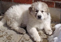 Troy the Great Pyrenees....... My 2nd favorite dog of all time.