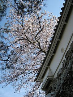 Cherry Blossoms @ white wall Kochi Castle #japan #kochi