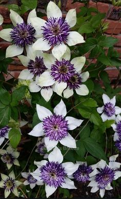 Clematis Florida Sieboldii is very unique with creamy white flowers with large centers of purple stamens. Looks exceptionally nice growing through low-medium sized shrubs. Best in a sheltered location to prevent wind damage to the delicate petals. Height: 6-10 feet Hardiness Zone: 6-9 (plant against a warm house wall or in a sheltered location in zone 5) Sun Requirements: Full sun to partial shade A member of: Group 3 - Clematis in Group 3 mainly flower on new wood produced in the current…
