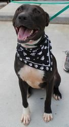 Link is an adoptable Pit Bull Terrier Dog in Bunnell, FL. What a playful pup! Link is a 2 year old Pitbull mix. He is a very playful pup, who is very sweet! He is Neutered,up to date on vaccines, on p...
