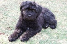 Bouvier Puppy...such a sweet face ....lovey dog!