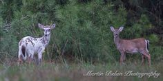 Piebald White-tailed Buck and Doe