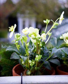 Helleborus in small pots. #helleborus #flowers #flowersofinstagram #containergarden #potgarden #christmas #winter #gardenlife #garden #krullskrukker #gardenhouse