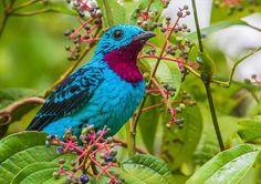 A plumagem do cotinga celeste transformou-o em um alvo dos caçadores na floresta amazônica. Estes pássaros não cantam, mas são conhecidos por fazerem um silvo com suas asas ao voarem.