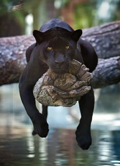 A Black Jaguar Hangs Out On A Tree