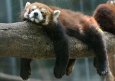 Down and out.......A red panda sleeps in its enclosure at the Beijing Zoo