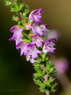 Satureja obovata Lag. subsp. valentina - Ajedrea fina