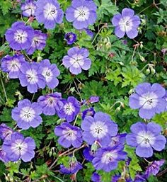 Geranium Rozanne.  Fantastic hardy geranium.  Perennial with very long flowering season - June - october.  Good in any of the larger beds - as it spreads out.