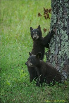 Two cute baby black bears in Cades Cove - Great Smoky Mountains National Park