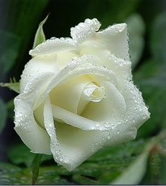 Beautiful Wet And Fresh Rose. For Beautiful Friends. Flowers Nature, Exotic Flowers, Amazing Flowers, Beautiful Roses, White Flowers, Beautiful Flowers, Rosa Rose, Rose Of Sharon, Rose Pictures