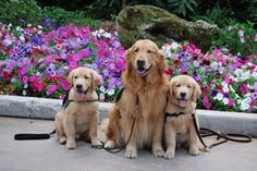 A trio of service dogs - they can help you pick up dropped items or alert a medical responder in case of an emergency.
