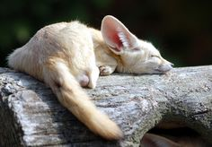 Fennec Fox by floridapfe Fenic Fox, Pet Fox, Animals And Pets, Funny Animals, Fantastic Fox, Cute Little Animals, Wild Dogs, Animals Beautiful, Mammals
