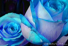Blue Roses by Allenfive5, via Dreamstime