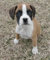Layla is an adoptable Boxer Dog in Oak Grove, MO. Layla is an 8 week old beautiful flashy fawn boxer girl. Her adoption fee is $395. She has been wormed, vaccinated, neutered, and comes with registrat...