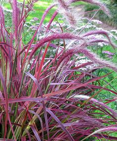 'Pennisetum' Fireworks Grass - Chosen for its color, texture and performance, 'Fireworks' fountain grass is also a water-wise problem solver and needs only occasional watering once established. Variegated with hot pink, burgundy, white and green running the entire blade, 'Fireworks' fountain grass blooms purple tassel seed heads during the summer months and is easy to grow in virtually any soil type. This award winning grass is a noninvasive variety that is drought tolerant, attracts…