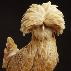 Buff Laced Polish chicken--even the chickens are fabulous in poland. Fancy Chickens, Chickens And Roosters, Pet Chickens, Raising Chickens, Chickens Backyard, Backyard Poultry, Pretty Birds, Beautiful Birds, Animals Beautiful