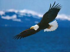 El vuelo del Aguila Calva!!
