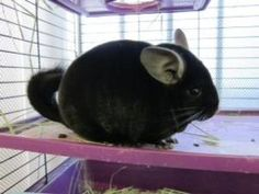 Nibbler(OC)--dark gray Chinchilla is an #adoptable Chinchilla in #Chino, #CALIFORNIA in need of a loving home