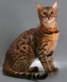 yet another Bengal Cat