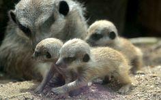 Unos juguetones suricatas recién nacidos en el zoo Drusillas Park de Alfriston, Inglaterra (SWNS, 2015)