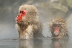 Young and mature Japanese Macaque aka Snow Monkey together in a hot tub at Jigokudani hotspring in the mountains near Nagano, Honshu, Japan. Best regards and have a nice Sunday Harry Chimpanzee, Orangutan, Wildlife Photography, Art Photography, Excited Animals, Japanese Macaque, Baboon, Lemur, Primates