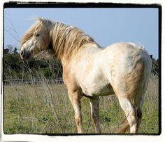 Camargue stallion Patchak des Prévots