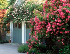 New Dawn (light pink) climbing rose zone 5 and William Baffin (dark pink) climbing rose zone 2 - two of the easiest roses to grow, no maintenance but pruning once a year to train growth.