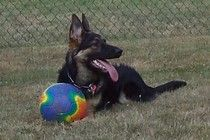 http://www.examiner.com/german-shepherd-in-akron/health-problems-the-german-shepherd-dm-part-2    2nd part of an article on Degenerative Myelopathy and the German Shepherd Dog.