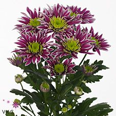Saba is a purple, white & green variety of spray chrysanthemum. Spray chrysanths are multi-headed, approx. 70cm tall & wholesaled in 20 stem wraps.
