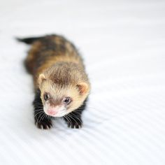a ferret to wander my house and roll around being cute