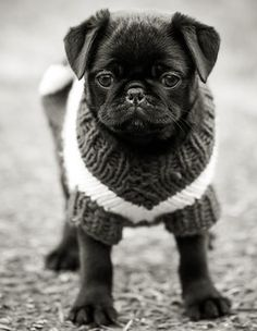 And of course, now that i've got myself a black puggie I am now obsessed with black puggies! Sorry fawns :/.