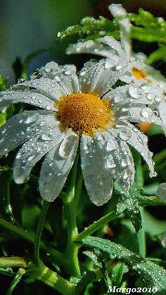 droplets on daisy. Types Of Orchids, Types Of Roses, Sunflowers And Daisies, Beautiful Flowers, Daisy Love, Growing Orchids, Orchid Plants, Dew Drops, Rain Drops